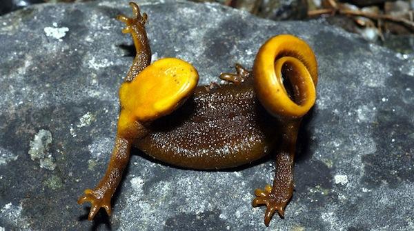 rough-skinned-newt